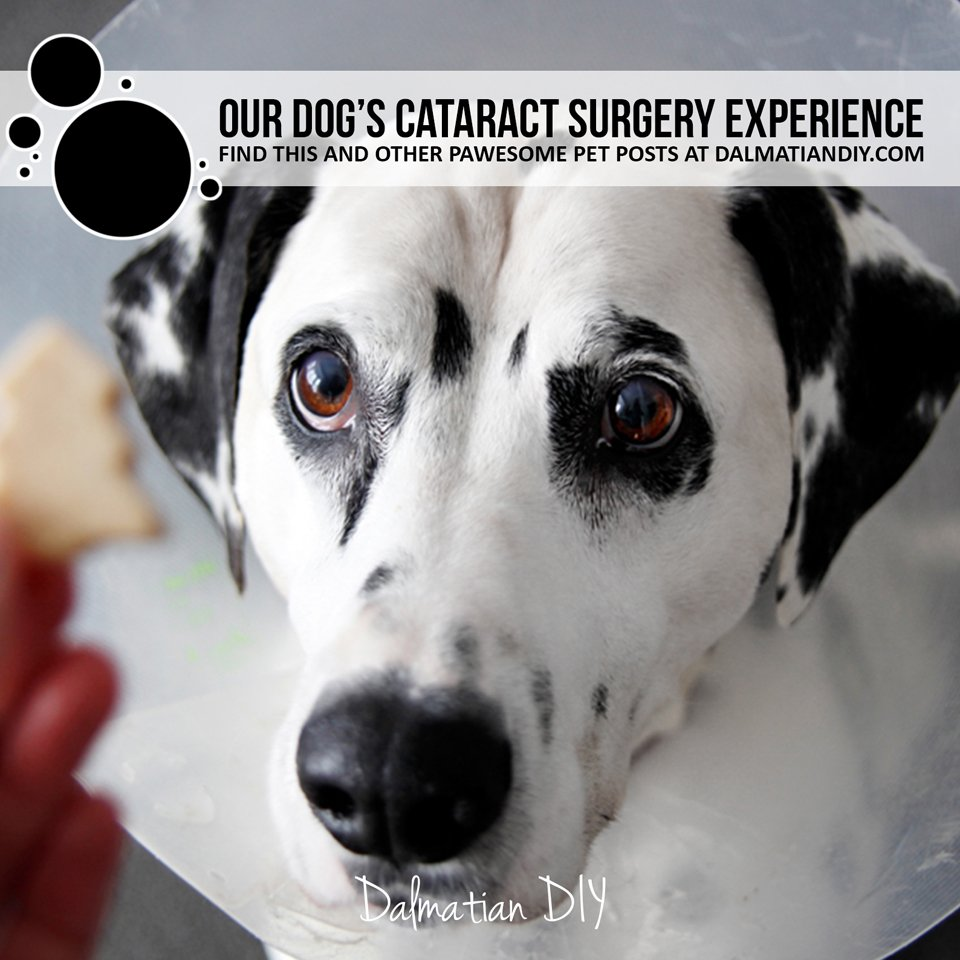 Our senior dog's experience with bilateral cataract surgery and recovery