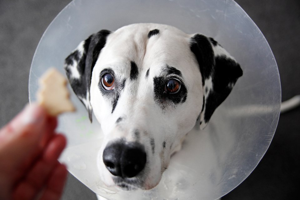 Dog wearing cone looking at a treat post cataract surgery recovery
