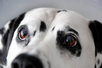 Senior dog's eyes close up after cataract surgery recovery