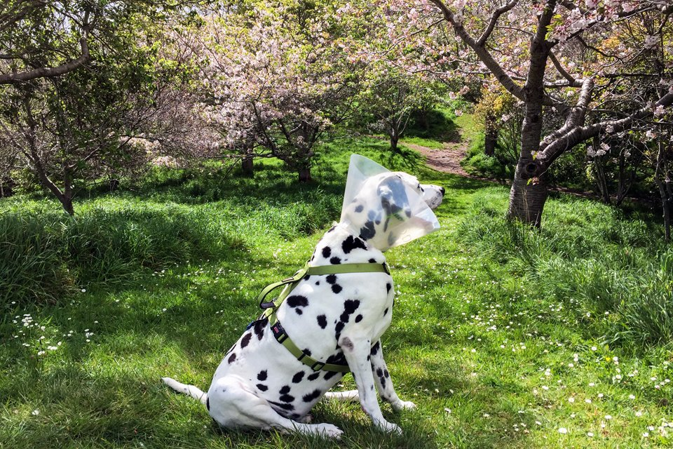 Dalmatian dog wearing a cone after cataract surgery