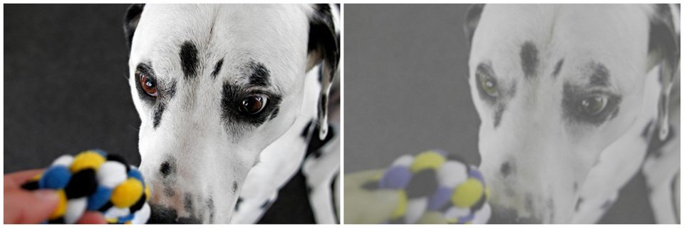 Photo of Dalmatian with colourful tug toy adjusted for human vision vs. dog vision