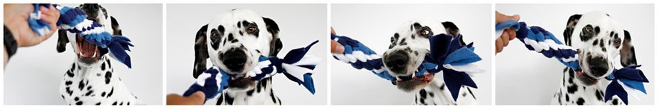 Dalmatian dog playing with blue and white Hanukkah dog tug toy