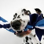 DIY Hanukkah blue and white fleece dog tug toy