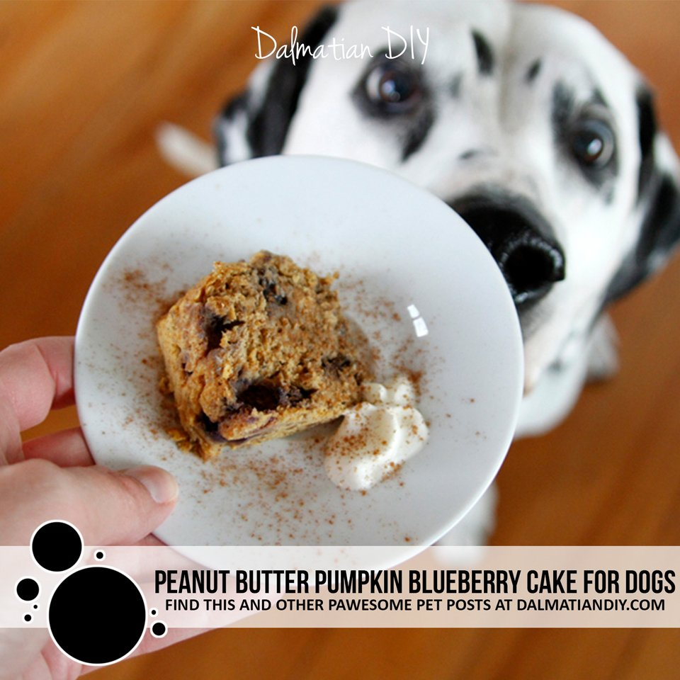 Homemade recipe peanut butter pumpkin cake with blueberries for dogs