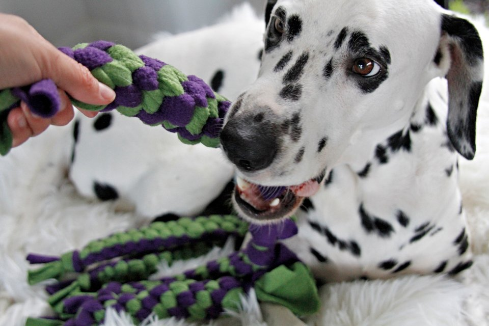 Dalmatian dog playing with DIY fleece dog tug toys