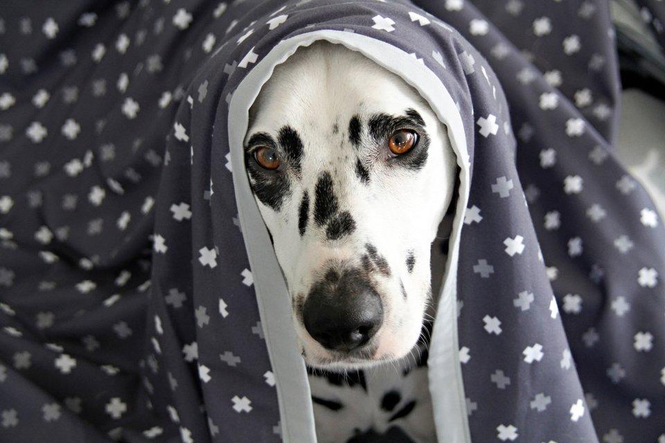 Dalmatian dog snuggling in a homemade blanket
