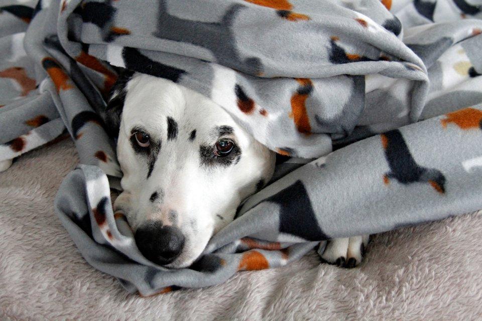 Dalmatian dog cuddled in fleece blanket