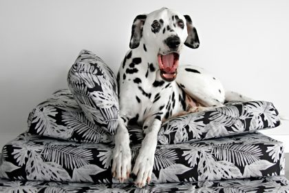 Dalmatian dog yawning on top of a stack of dog bed cushions