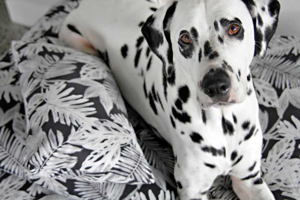 Dalmatian dog resting on homemade dog beds with pillow