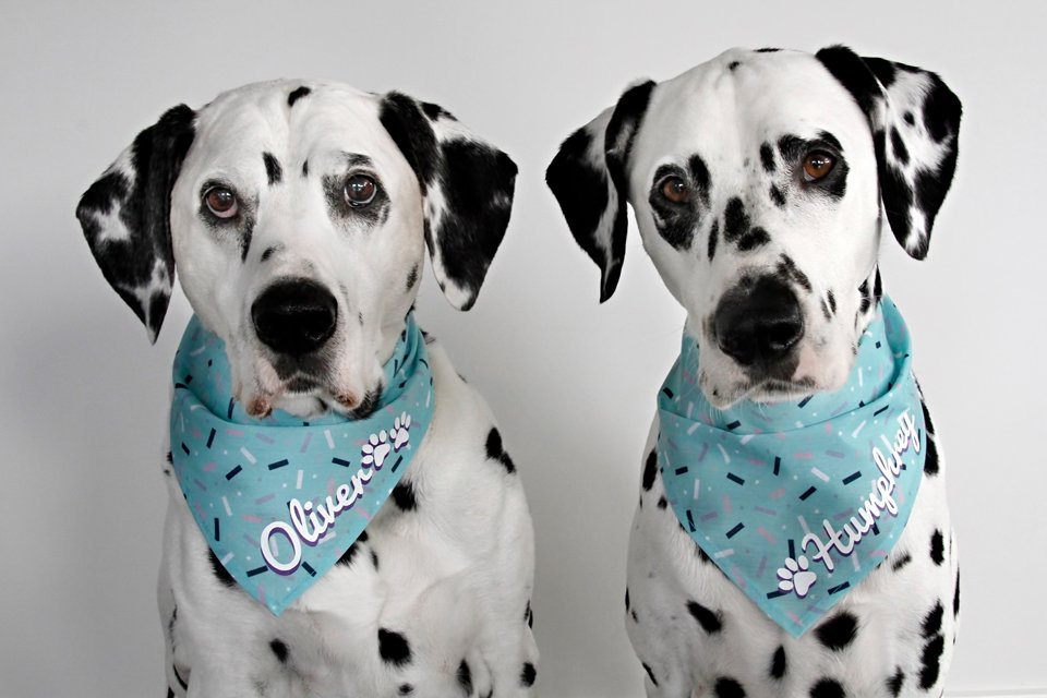 Dalmatian dogs wearing personalised name bandanas