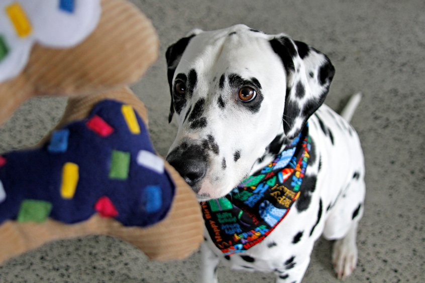 Dalmatian dog looking at sprinkle cake birthday bone stuffed dog toys