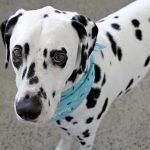 Humphrey the Dalmatian dog's 5th birthday party celebrations