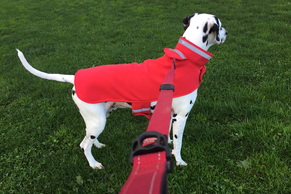 Dalmatian dog wearing a red fleece coat with reflective tape