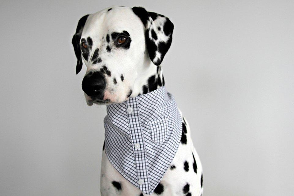 Dalmatian dog wearing a dress shirt bandana