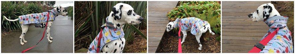 Dalmatian dog testing raincoat for comfort and use