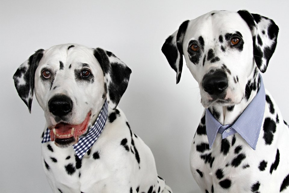 Dalmatian dogs wearing dress shirt collars