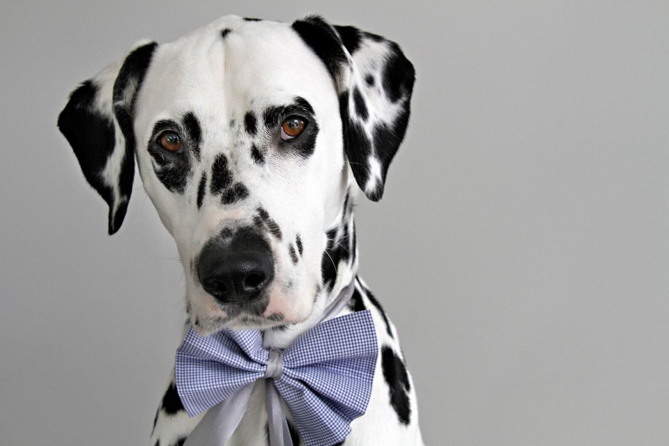 Dalmatian dog wearing a bow collar with ribbons