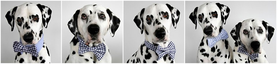 Dalmatian dogs modelling bow ties made from old work shirt materials