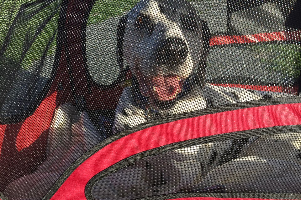 Smiling Dalmatian dog in a stroller