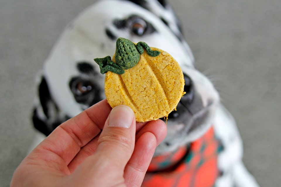 Dalmatian dog begging for homemade pumpkin shaped dog treat
