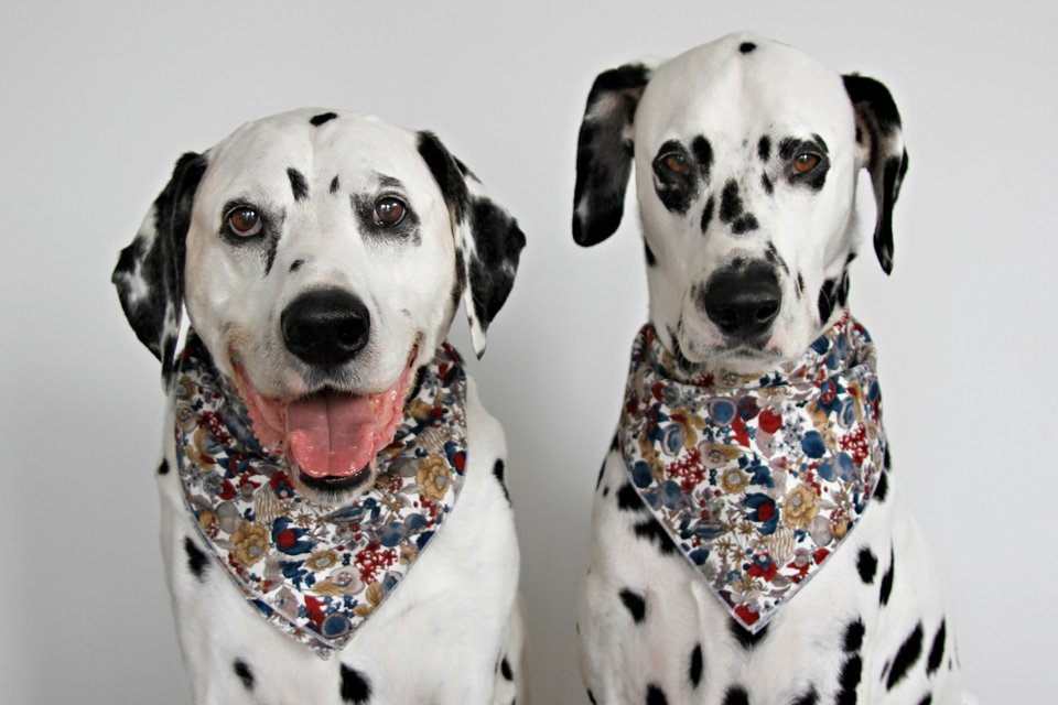 Dalmatian dogs modelling homemade dog bandanas with serged edges