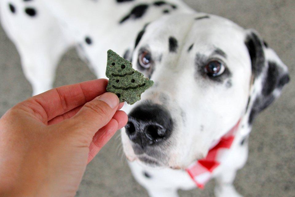Dalmatian dog looking at a homemade Christmas tree treat