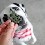 Dalmatian dog begging for a homemade Christmas tree treat