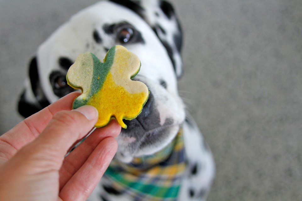 Dalmatian dog begging for a homemade St. Patrick's Day dog treat