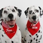 Dalmatian dogs wearing DIY Valentine's Day dog bandanas