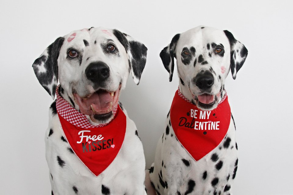 Dalmatian dogs wearing DIY Valentine's Day dog bandanas