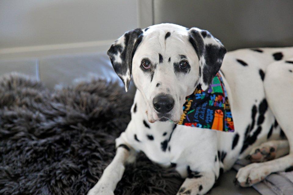 Dalmatian dog celebrating his 14th birthday