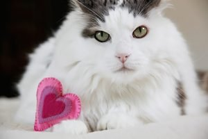 Fluffy white cat with DIY cat toy shaped like a heart