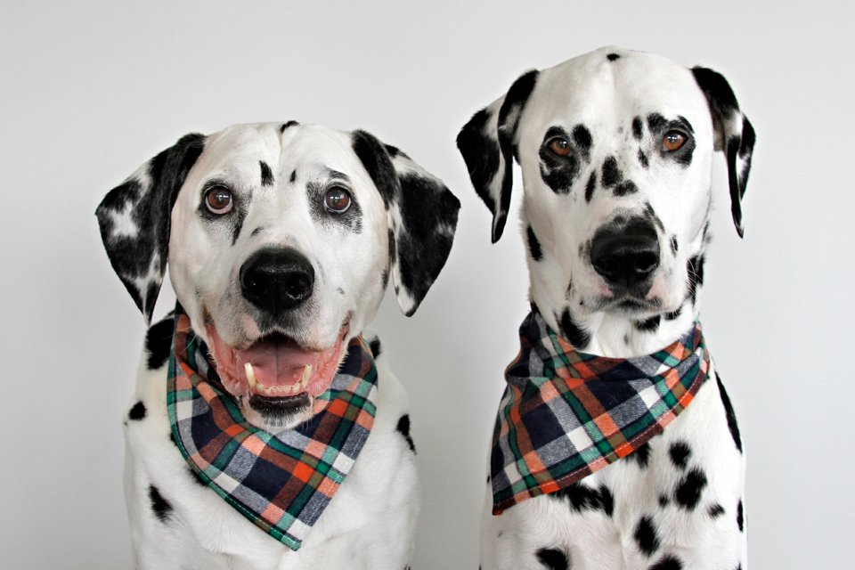 Oli and Humphrey, the blog dogs of Dalmatian DIY