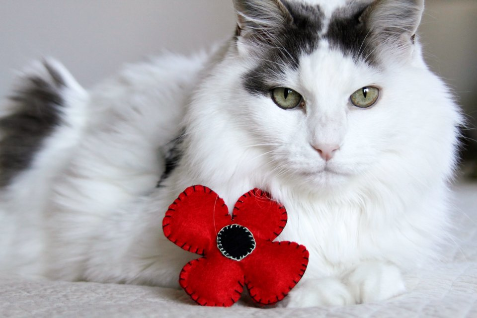 Fluffy white cat with homemade felt poppy toy