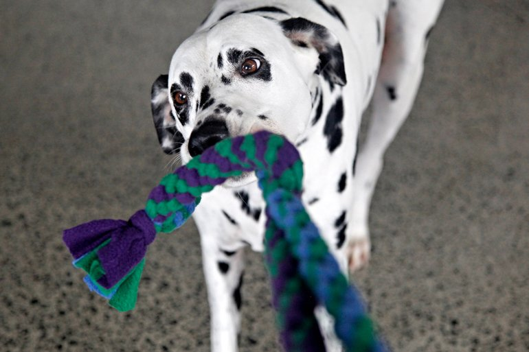 Dalmatian dog playing with infinity loop fleece dog tug toy