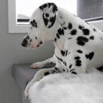 Dalmatian dog lying on DIY fitted window seat cushion