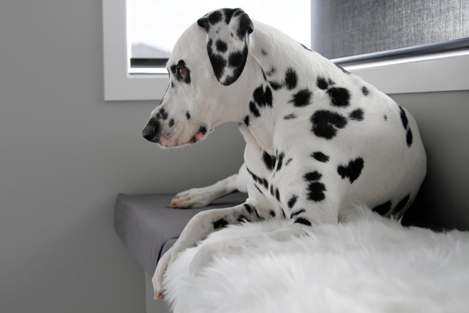 Dalmatian dog lying on DIY fitted window seat cushion