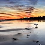 Two Dalmatians playing on the beach at low tide during winter sunrise