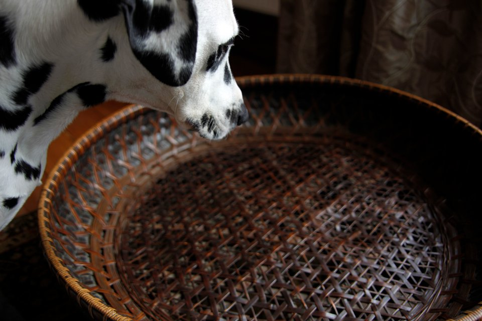 Dalmatian dog looking at an empty basket bed