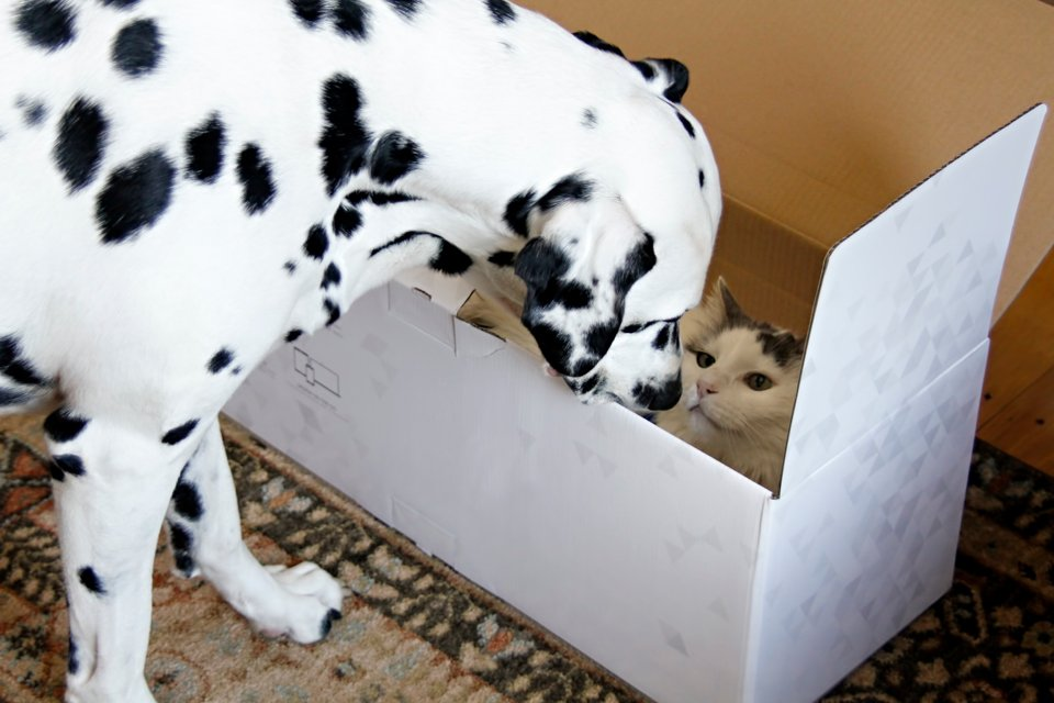 Cat in empty Cricut box being sniffed by a young Dalmatian dog