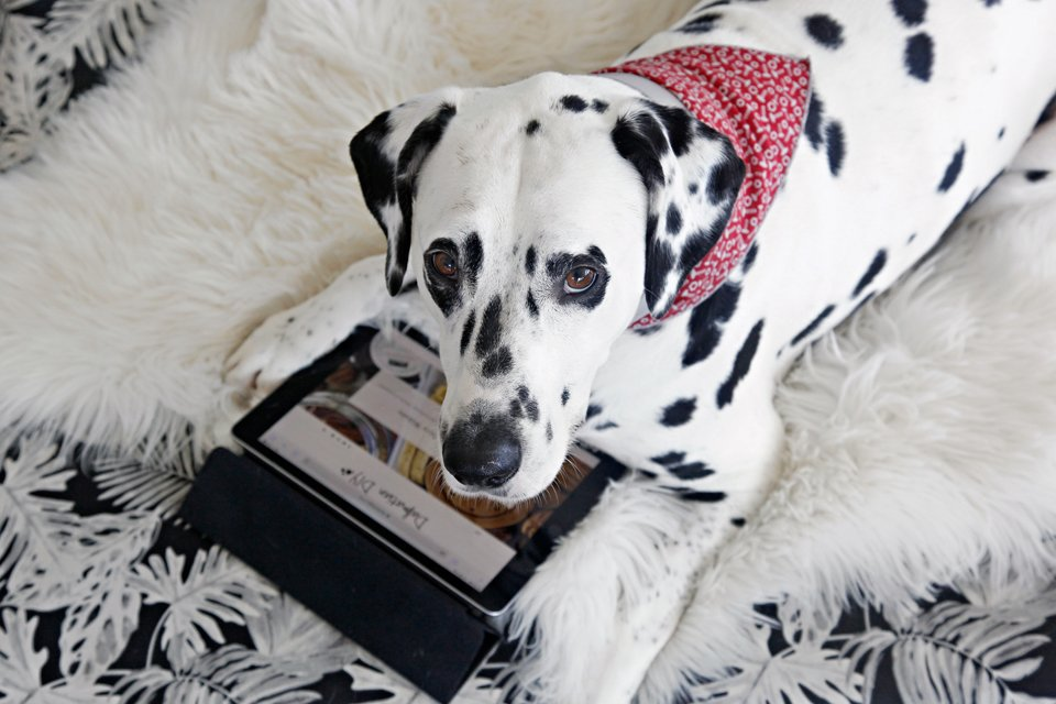 Humphrey the blog dog of the Dalmatian DIY website