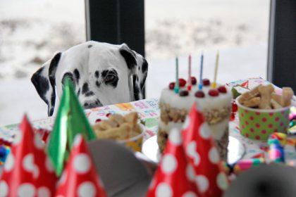 Humphrey the Dalmatian dog checking out his 4th birthday party buffet