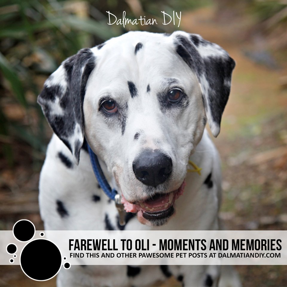 Farewell to Oli the senior blog dog of Dalmatian DIY