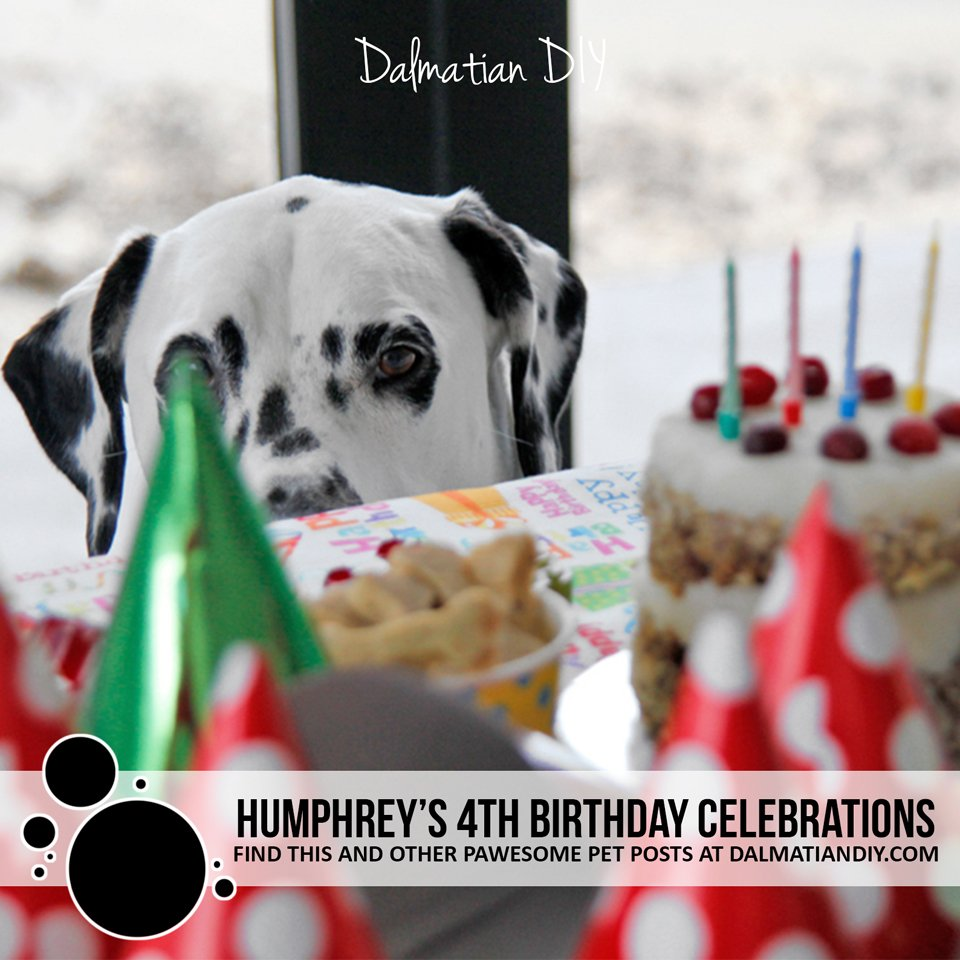 Humphrey the Dalmatian dog's 4th birthday party celebrations