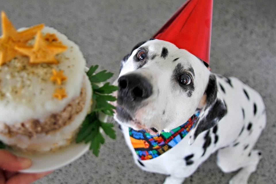 Dalmatian dog in party hat staring at dog-friendly birthday cake