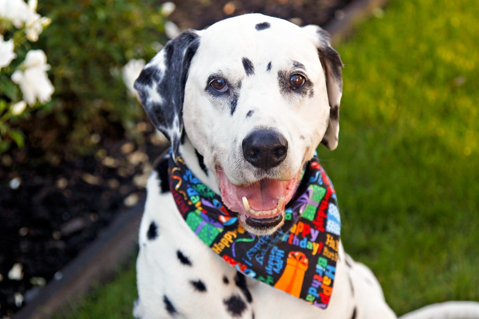 Oli the Dalmatian dog's 13th birthday