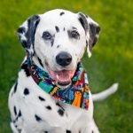Oli the Dalmatian dog's 13th birthday party