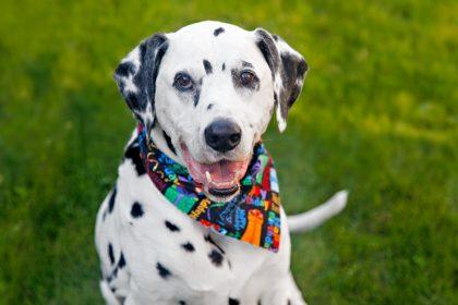 Oli the Dalmatian dog's 13th birthday party