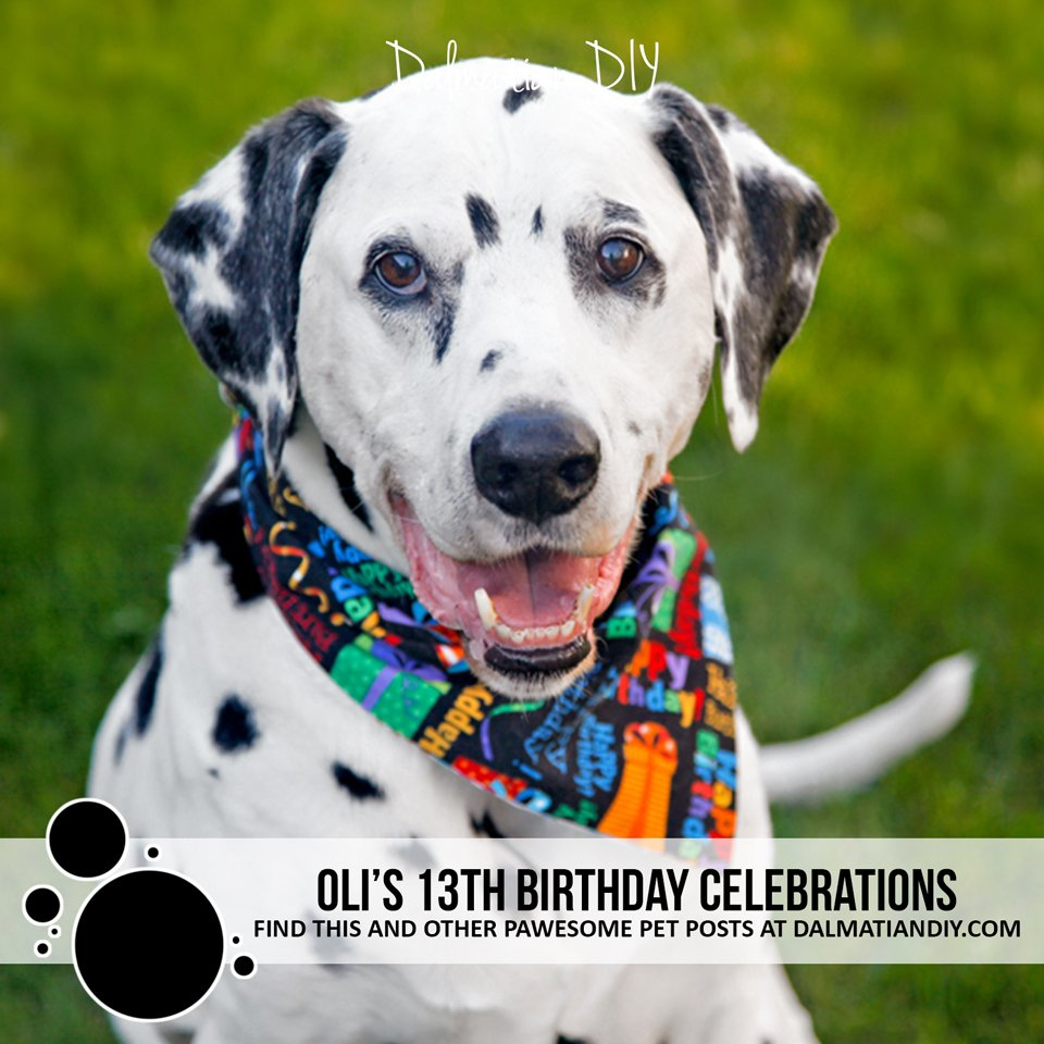 Oli the Dalmatian dog's 13th birthday party celebrations