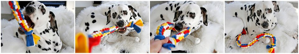 Dalmatian dog playing with homemade colour block woven fleece tug toy